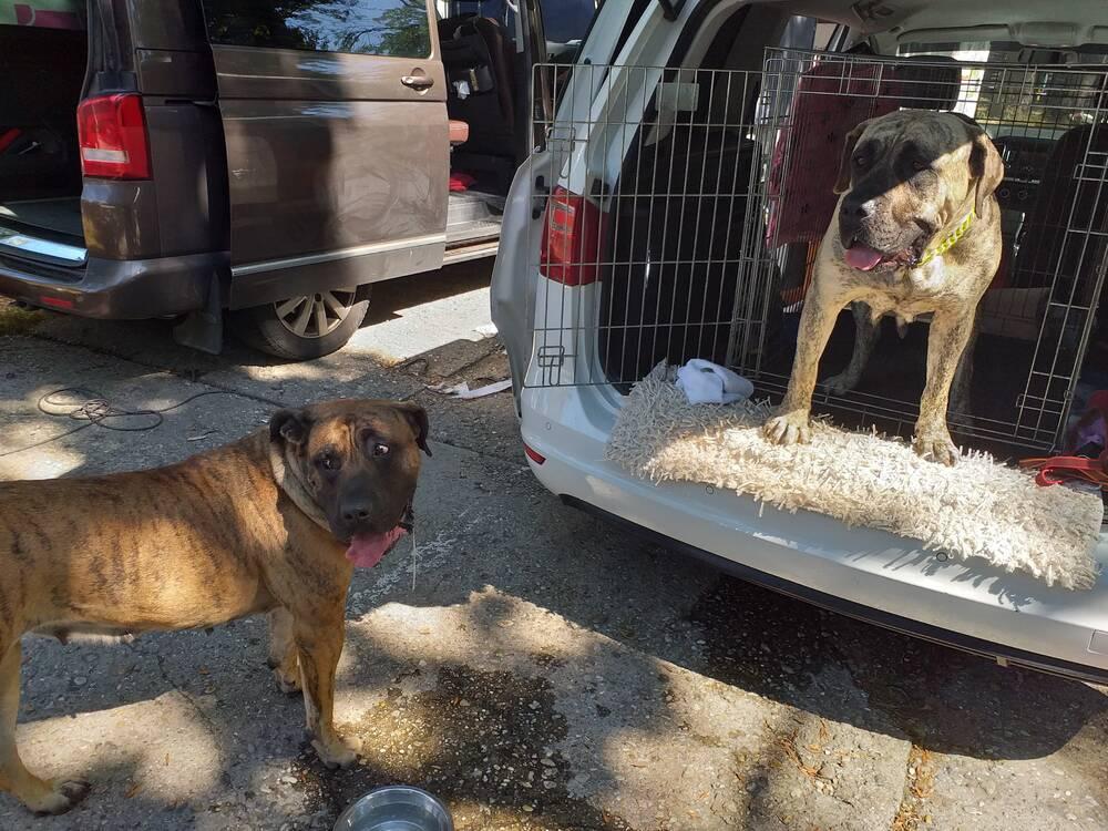 Presa Canario - Dogo Queen